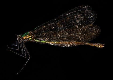 Odonata, Insect, Macro, Damselfly, Entomology