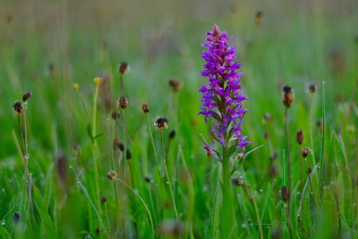 Nature, Orchid, Meadow