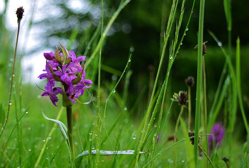 Orchid, Meadow