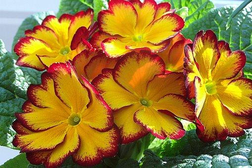 Primula, Prymulka, Yellow, Sunny, Pierwiosnkowate