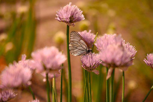 Summer, Onion, Blooms, Butterfly, Cabbage Butterfly
