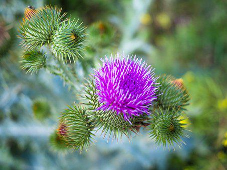 Thistle, Purple, Plant, Silver Thistle, Blossom, Bloom