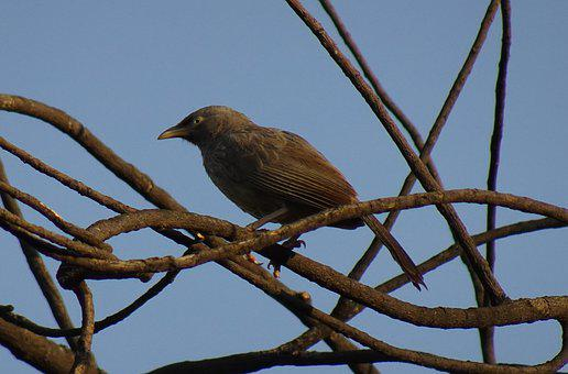 Bird, Babbler, Jungle Babbler