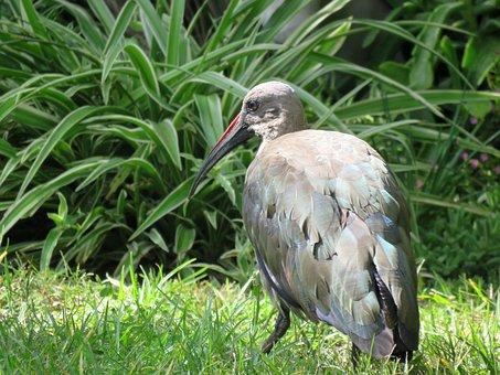 Bird, Hadeda, Hadeda Ibis, Ibis, Big Bird, South Africa