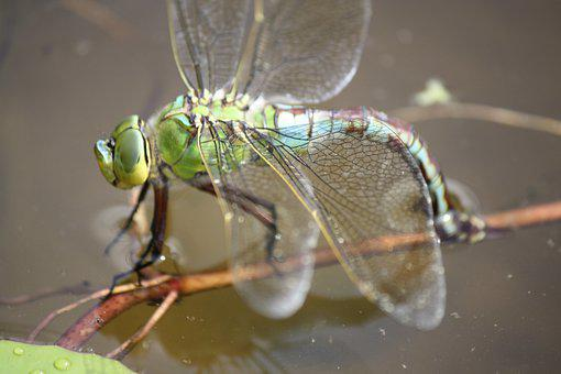 Dragonfly, Insect, Pond, Wings, Nature