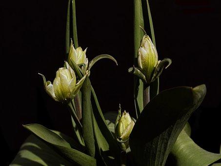 Tulip, White, Green, Exotic Emperor Tulip