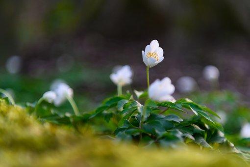 Wood Anemone, Forest, Spring, Hahnenfußgewächs, White