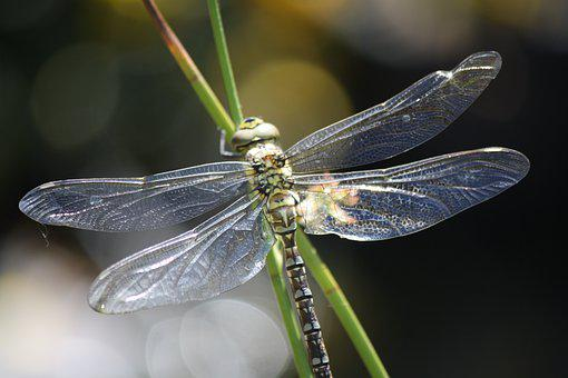 Dragonfly, Insect, Nature, Wings