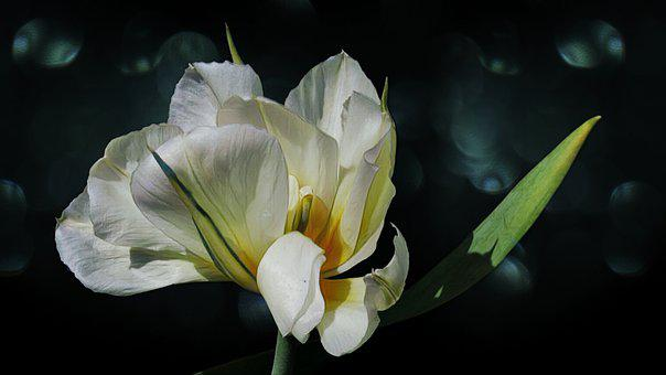 Tulip, Painting, Blossom, Bloom, Nature, Romantic