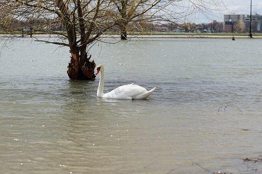 Swan, Detroit, Belle Isle, Lake, Water