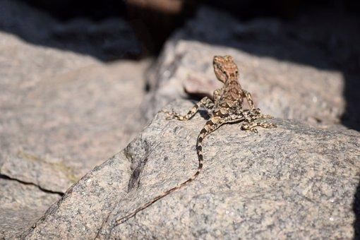 Mountain Lizard, Long Tail, Reptile, Lizard, Long, Tail