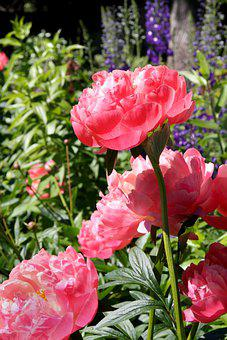 Flowers, Pink, Peonies, Spring, Nature, Garden, Large