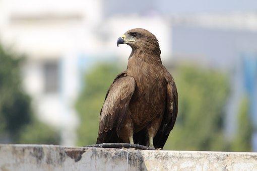 Black Kite, Indian Birds, Splendid Birds