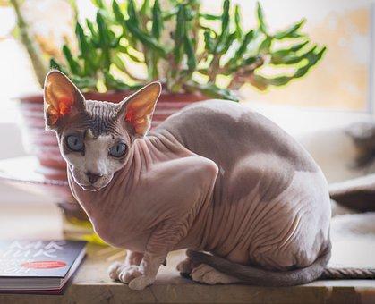 Sphynx, Cat, Cats, Animals, Bald, Naked, Pet, Animal