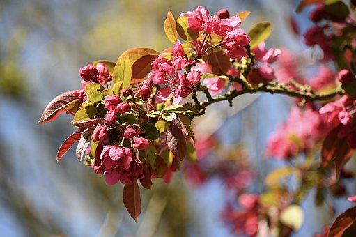 Flowers, Spring, Spring Blossoms, Pink, Magenta, Bud