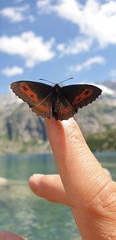White Cohesive Mohr Butterfly, Butterfly, Erebia Ligea