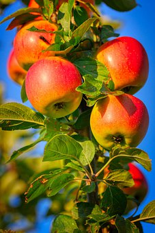 Apple, Apple Tree, Fruit, Branch, Ripe