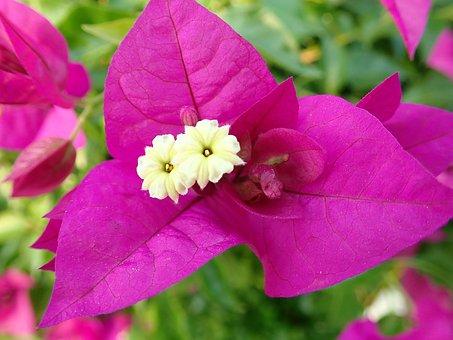 Flower, Bougainvillea, Tropical, Climber, Plant, Garden