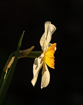 Flower, Daffodil, Spring, Yellow, Nature