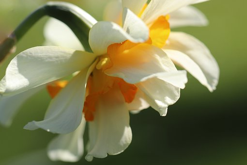 Narcissus, Daffodil, Blossom, Bloom, Filled, White