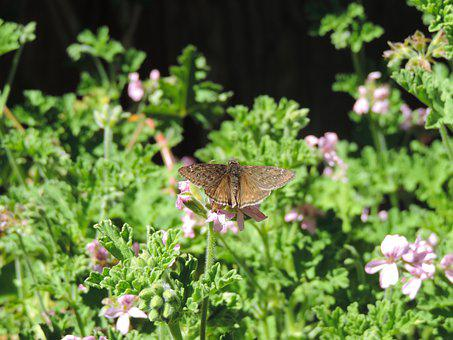 Horace's Dusky Wing Butterfly, Erynnis Horatius, Land