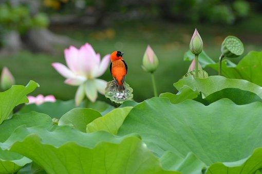 Red Bishop, Bird, Lotus, Wildlife