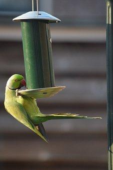 Parakeet, Bird, Green, Exotic, Vegetable, Garden Bird