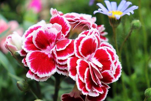 Carnation, Flower, Pink, Bloom, Petals, Blossom, Nature