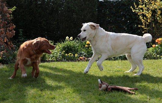 Dogs, Play, Toller, Labrador, Retrievers