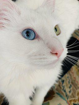 White Cat, Blue Eyed Cat, Blue And Green Eyed Cat, Cat