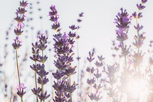 Lavender, Sun, Backlighting, Flower, Violet, Purple