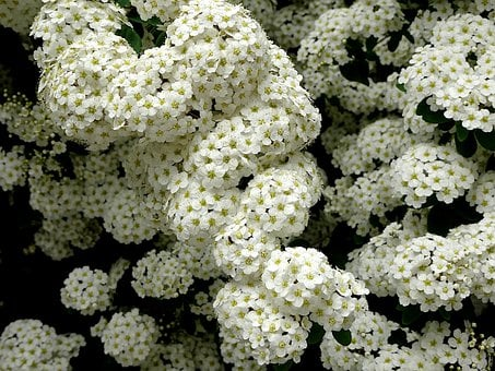 Flowering Shrubs, Flowers, White Color, Scented