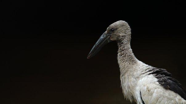 Kerala, India, Stork