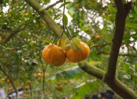 Mandarin, Flower, Juice, Orange, Fruit