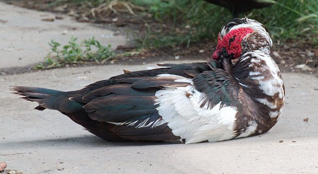 Bird, The Duck, Muscovy Duck, Male, Sitting Down