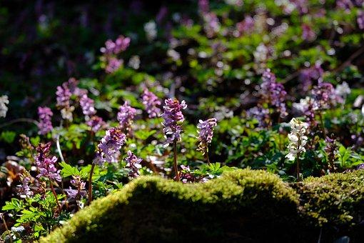 Corydalis, Violet Lerch Porn, Violet, Hollow Corydalis