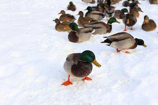 Duck, Winter, Mallard, Snow, Cold, Colorful, Male