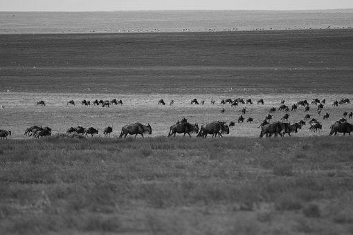 Wildebeest, Migration, Arrival, Africa, Wildlife
