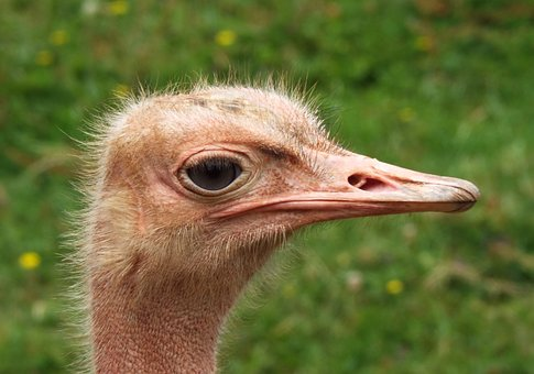 Ostrich, Head, Face, Closeup, Animal, Bird