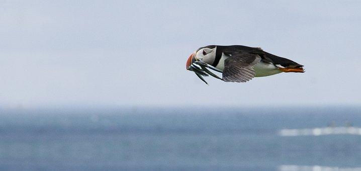 Puffin, Feeding, Flight, Bird, Sea, Sea Eels, Sea Bird