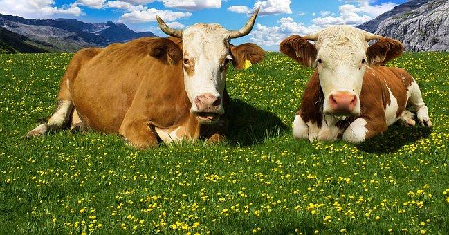 Cow, Alm, Mountains, Mountain Meadow, Alpine Meadow