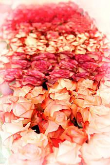 Rose, Blossom, Bloom, Close, Rose Family, Flowers