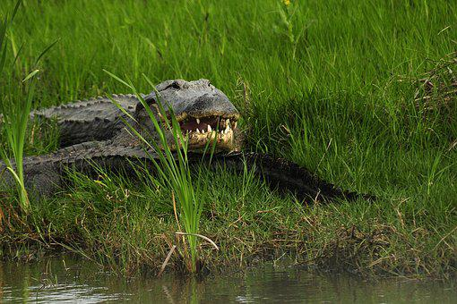 Gator, In Wild, Alligator, Wild, Nature, Animal