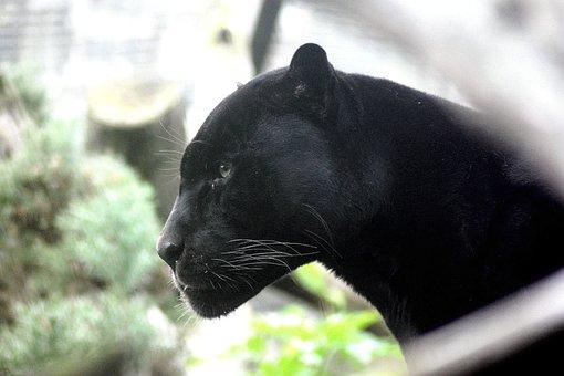 Panther, Big Cat, Feline, Stalker, Hunter, Carnivore