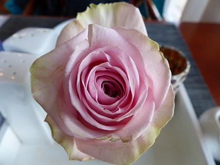 Rose, Salmon And White, Many Flowers, Fragrance, Love