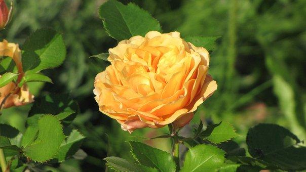 Ranunculus, Flower, Orange, Green, Blossom, Bloom