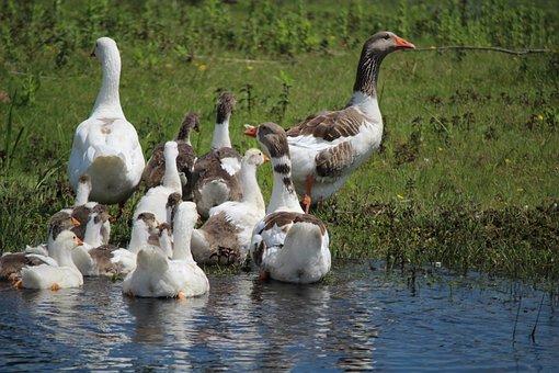Geese, Body Of Water, River, Birds, Oca, Bird