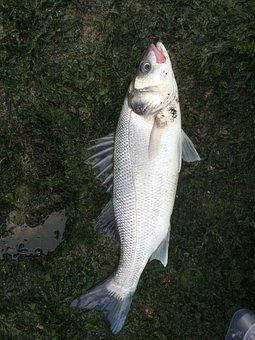 Sea bass, Fish, Sea