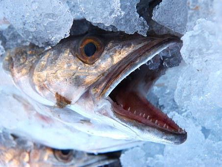 Hake, Fish, Mouth, Threat, By The Mouth Dies The Fish