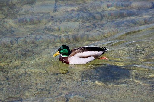 Duck, Drake, Mallard, Plumage, Colorful, Water, Shallow